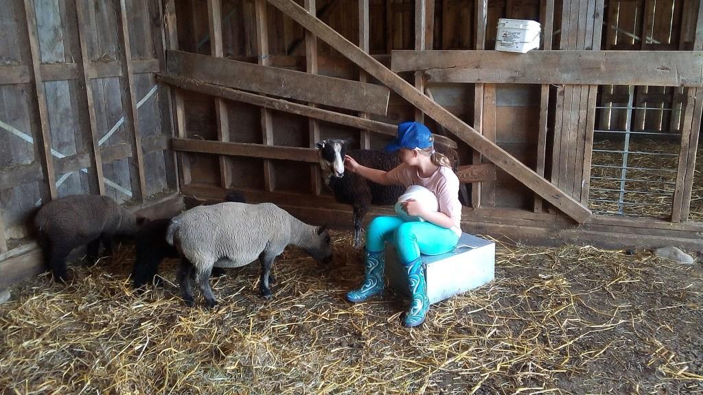 Georgia taming sheep