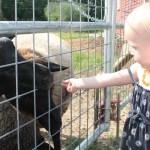 Small child giving the sheep some grain