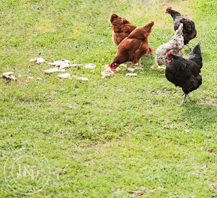 tottering-hens