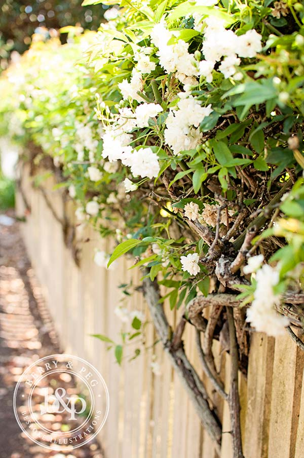vines on a picket fence