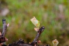 Premieres feuilles et bourgeons de vigne