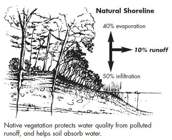 Graphic showing natural shoreline
