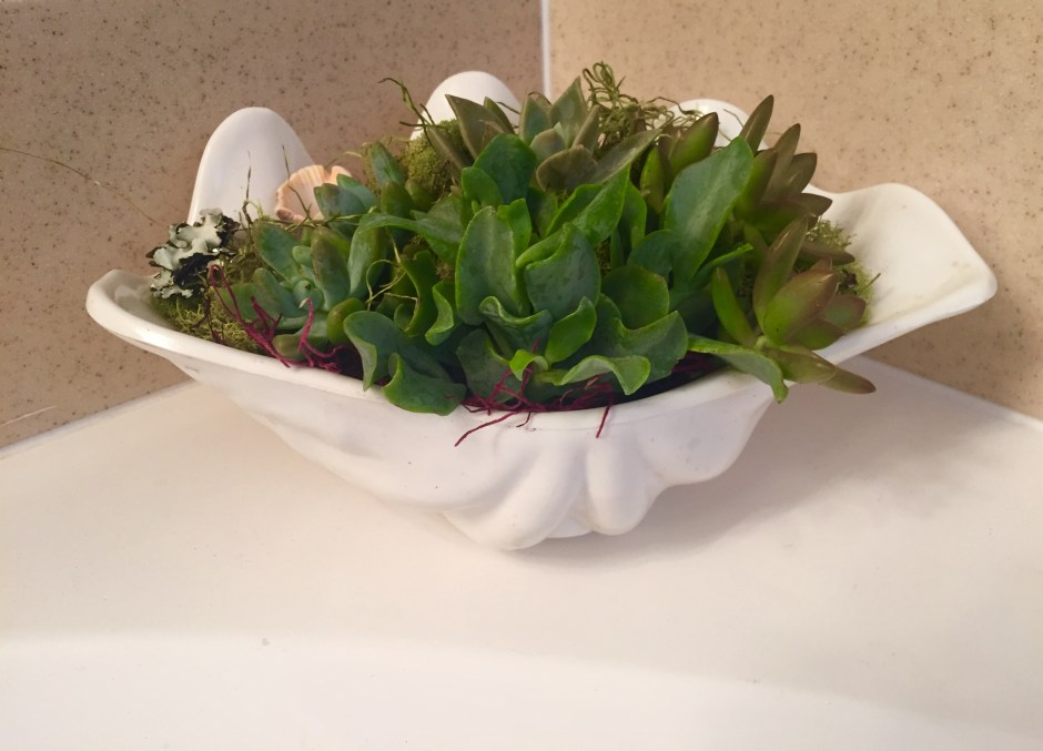 DIY succulents in a sea shell 2