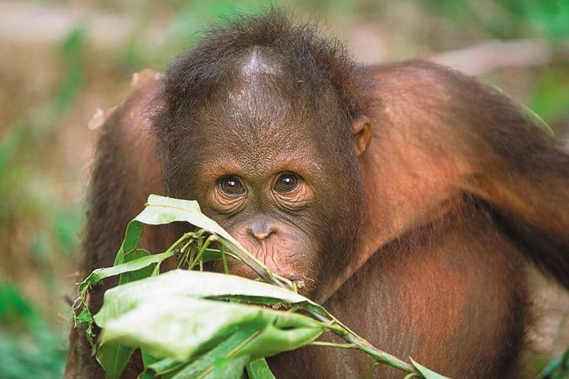 10 Unique honeymoon activities- Orangutans Borneo