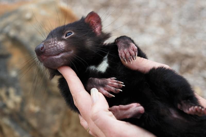 10 Unique honeymoon activities - Tasmanian Devil