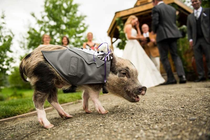 FUNKY COLORADO THEMED WEDDING WITH A PET PIG (7)