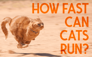 How Fast Can Cats Run?