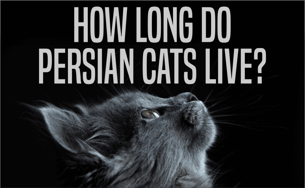 How Long Do Persian Cats Live?