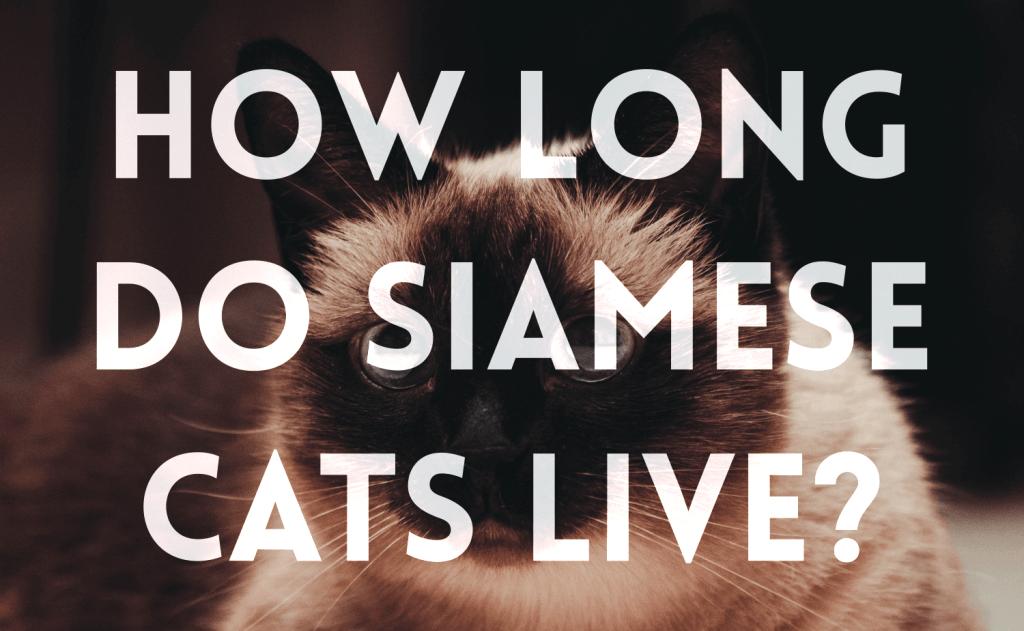 How Long Do Siamese Cats Live?