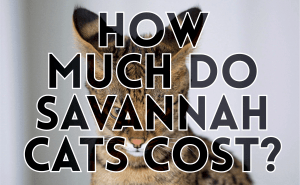 How Much Do Savannah Cats Cost?