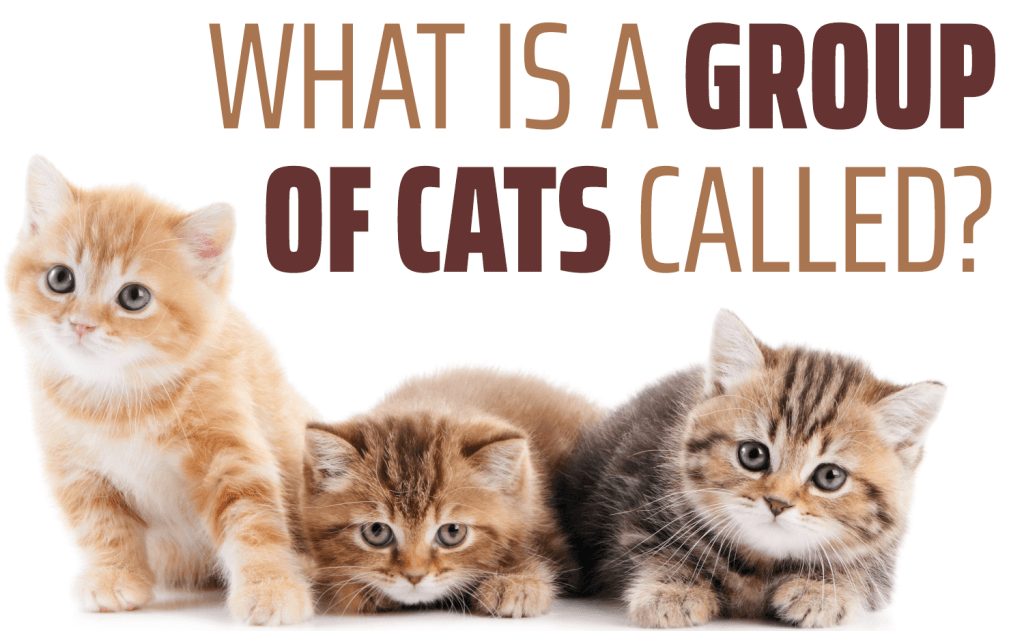 What Is a Group of Cats Called?