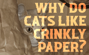 Why Do Cats Like Crinkly Paper?