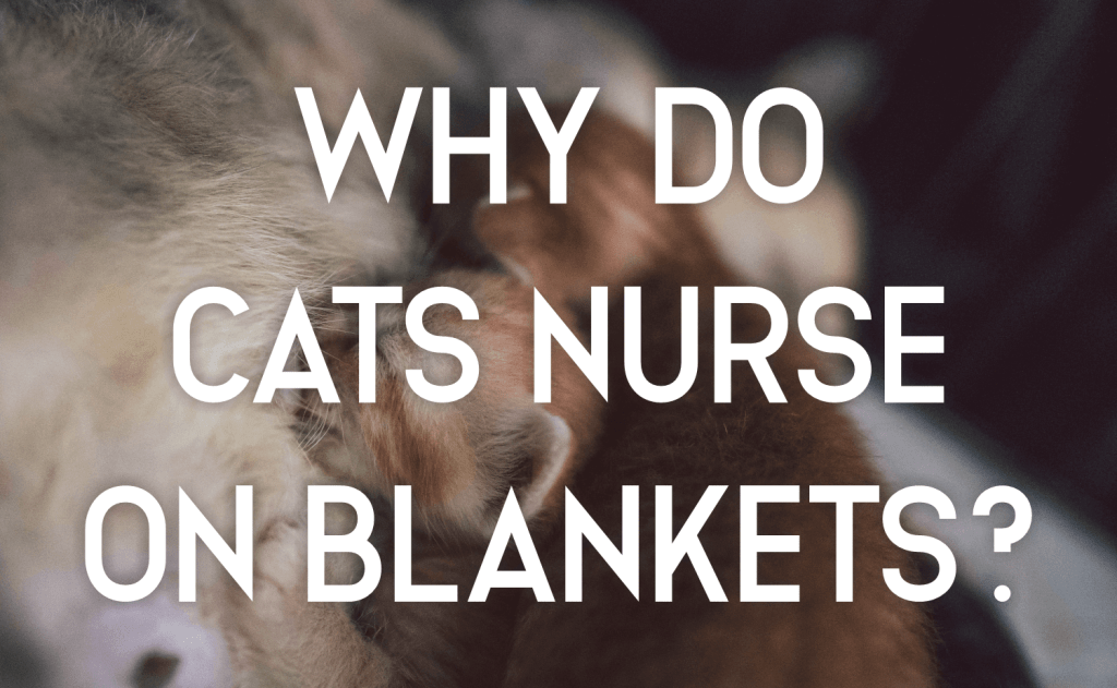 Why Do Cats Nurse on Blankets?