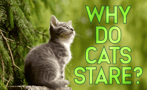 Why Do Cats Stare?