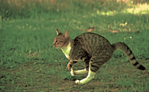 How Fast Can Cats Run In Miles Per Hour?