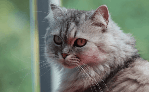 How Long Do Indoor Persian Cats Live?