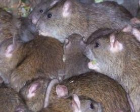 ratones ratas