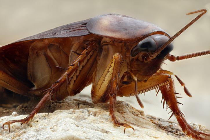 Geles para controlar Cucarachas