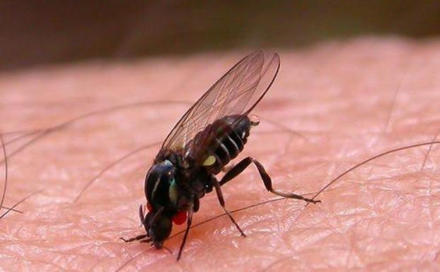 La mosca negra: Una plaga feroz que atenta contra humanos y animales