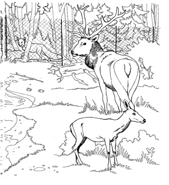 coloring-pages-deer