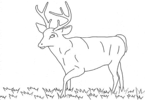 white-tailed-deer-coloring-pages