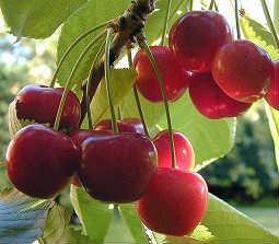 Evans Sour Cherries