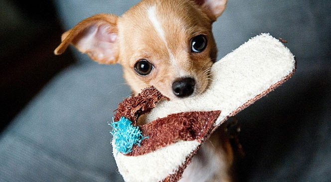 Dog Wallpapers – Were You Able to Find the Chihuahua One?