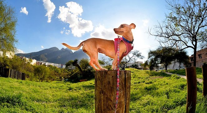 2 Tips to Follow If You Want a Well Behaved Chihuahua