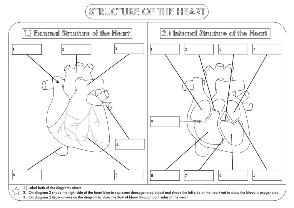 medium resolution of Human Heart Worksheets For Kindergarten   Printable Worksheets and  Activities for Teachers