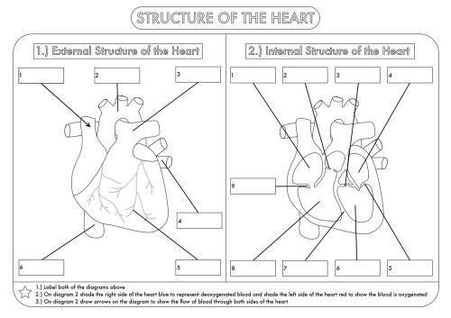 small resolution of Human Heart Worksheets For Kindergarten   Printable Worksheets and  Activities for Teachers