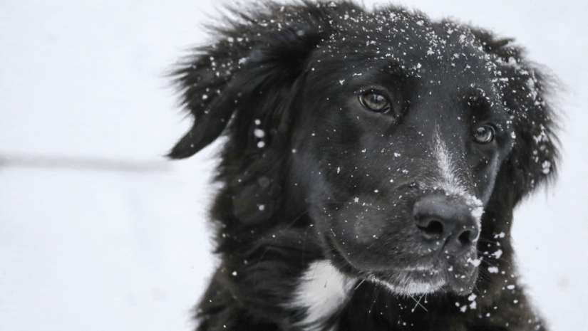 Black Dog with White Chest in the Snow