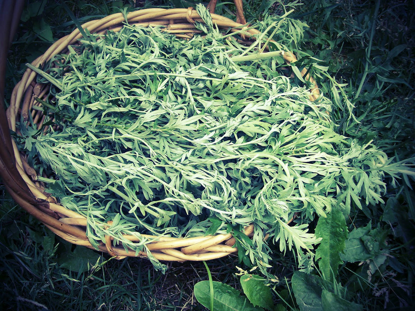 Artemisia annua – Amazing Herb that Kills 98% of the Cancer Cells