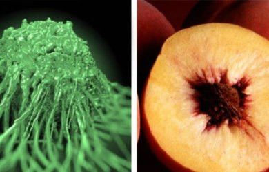 Peach Extract Kills Cancer Cells