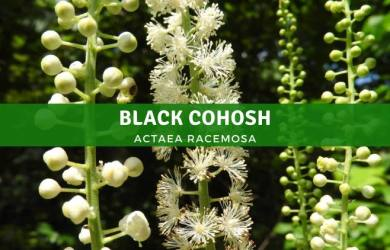 What is Black Cohosh