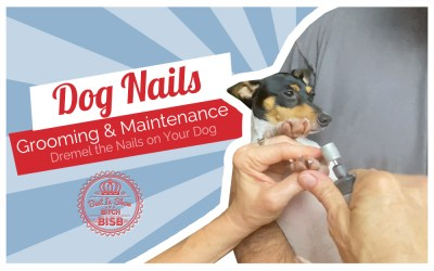 Dog Show Grooming: How To Dremel Nails on a Toy Breed Dog