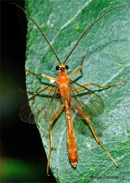 Les Ichneumonids Famille Ichneumonidae