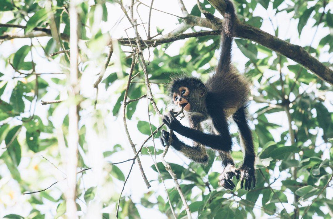 Petit singe araignée, Punta Laguna, Mexique