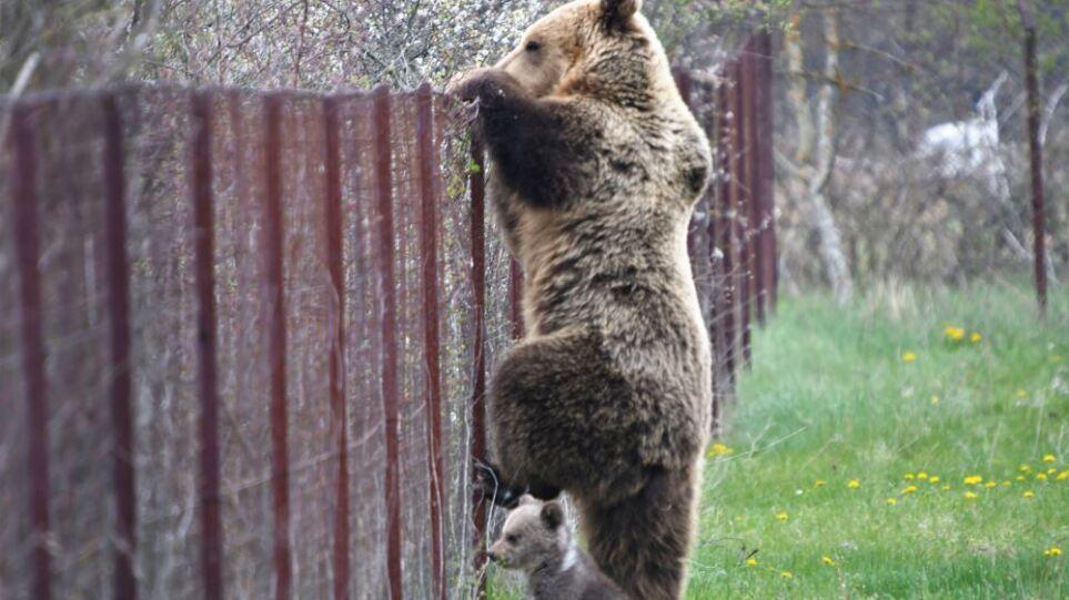 καστοριά αρκούδα