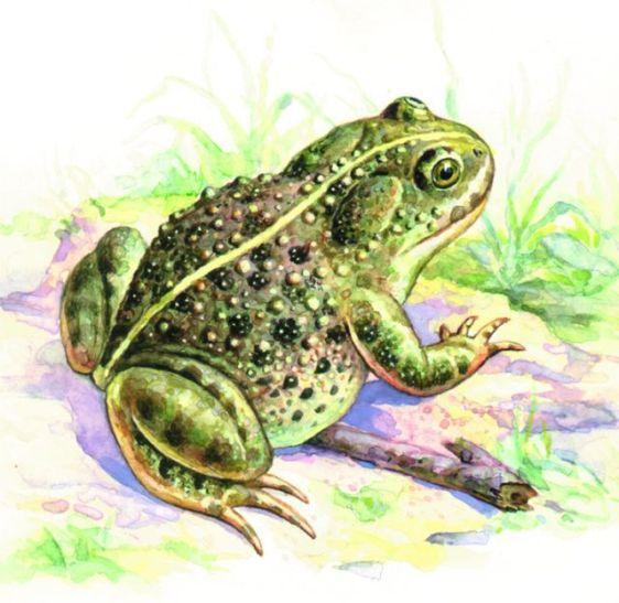 πρίγκιπες βάτραχος πρίγκιπας