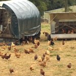 <i>Podcast: Tastes of Bainbridge: </i><br>A Visit with the Chickens of Heyday Farm