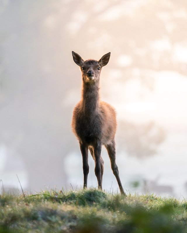 bristol fawn