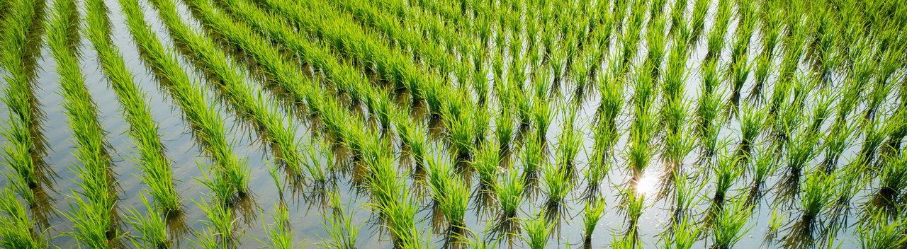 Rice – Riz