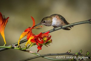 HummingbirdFemale10_Aug6