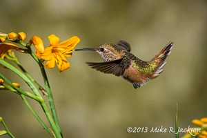 HummingbirdFemale7_Aug6