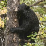 Black Bear In Tree Sept 26