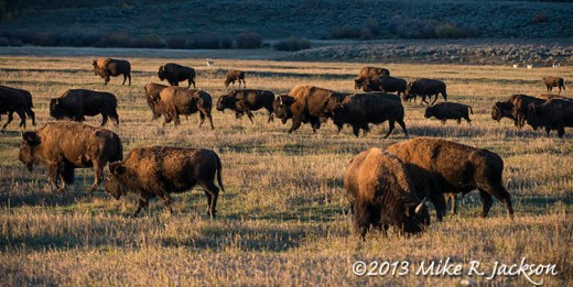 Bison Herd Oct 1