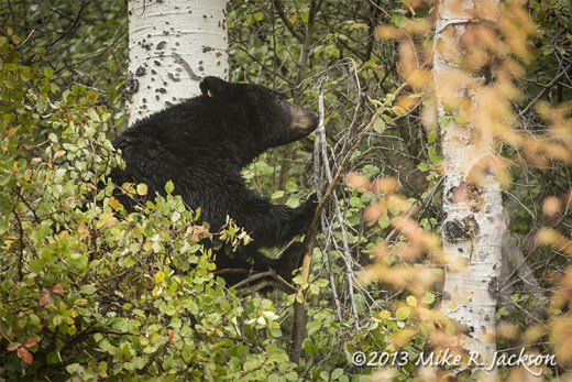 Black Bear in Treetop Sept 30
