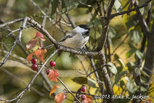 Black Capped Chickadee Oct15