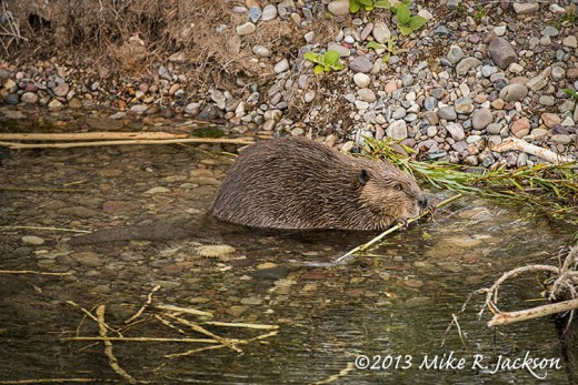 Feeding Beaver Along the Gros Ventre