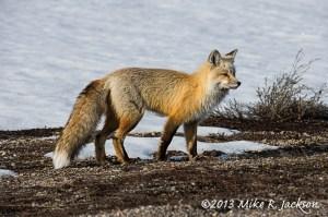 Spring's Red Fox